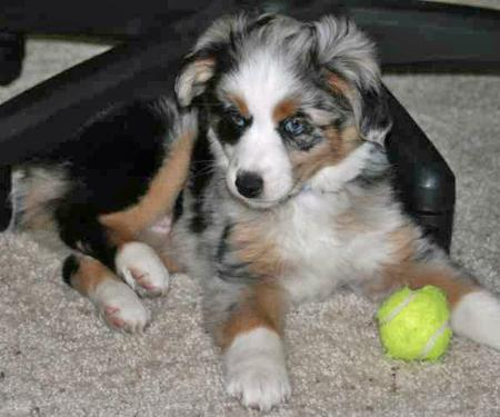 Jillaroo the Mini Australian Shepherd Pictures 18336