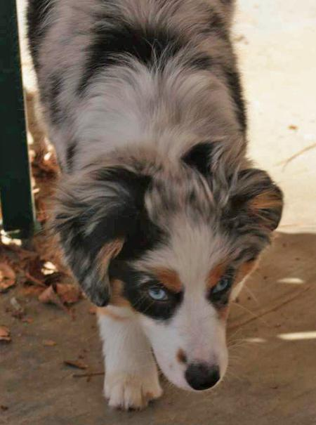 Jillaroo the Mini Australian Shepherd Pictures 18338