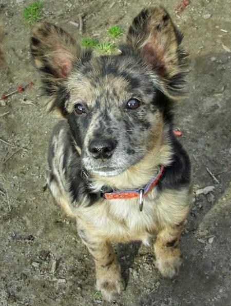 Toad the Cattle Dog Mix Pictures 54402