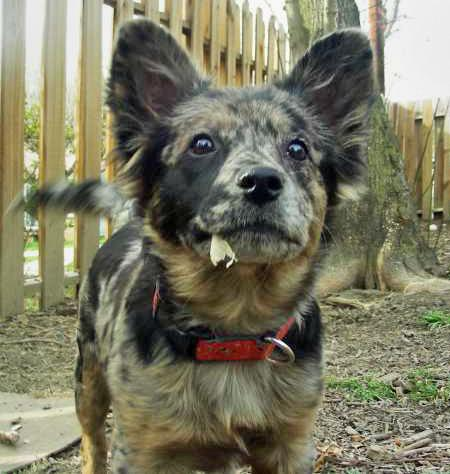 Toad the Cattle Dog Mix Pictures 54400