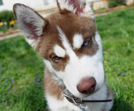 Thor the Siberian Husky Pictures 301702