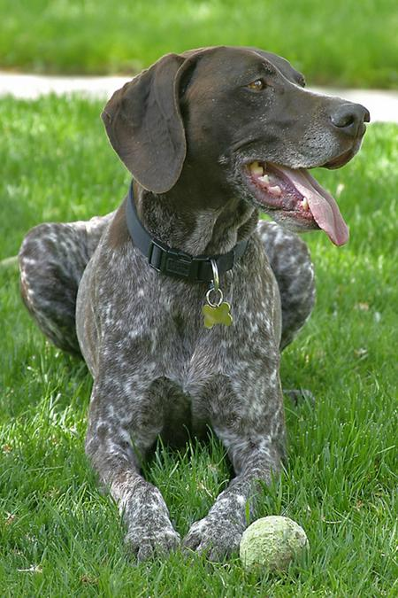 Cooper the German Shorthaired Pointer Pictures 18815
