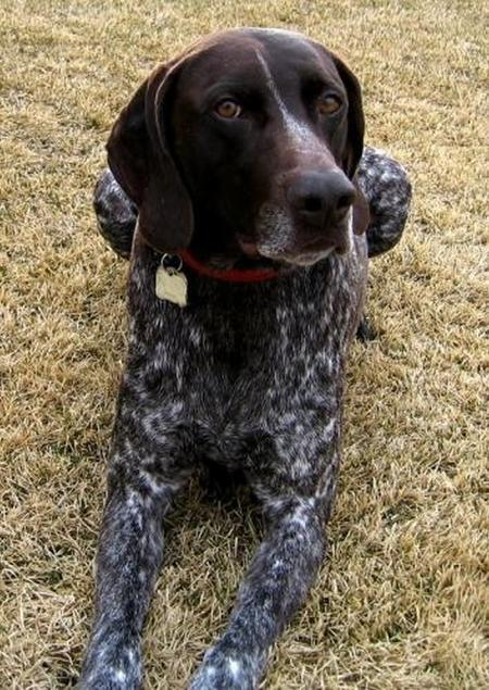 Cooper the German Shorthaired Pointer Pictures 18813