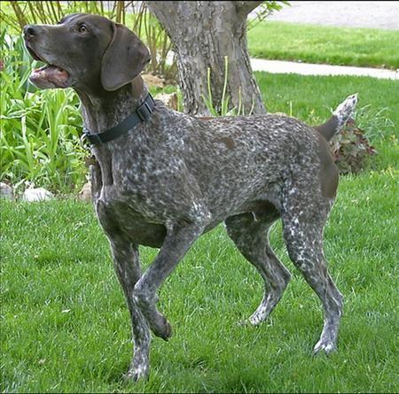 Cooper the German Shorthaired Pointer Pictures 18812