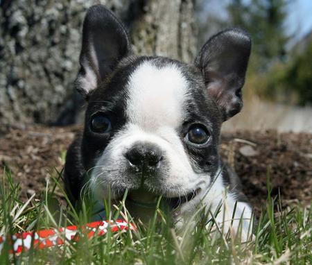 Quincy the Boston Terrier  Pictures 302493