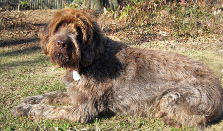 Zeppo the Wirehaired Pointing Griffon Pictures 303008