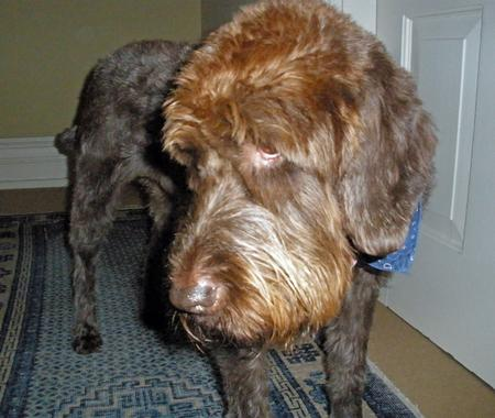 Zeppo the Wirehaired Pointing Griffon Pictures 303006