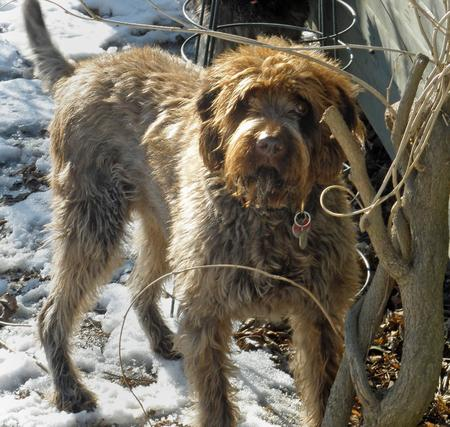 Zeppo the Wirehaired Pointing Griffon Pictures 303005