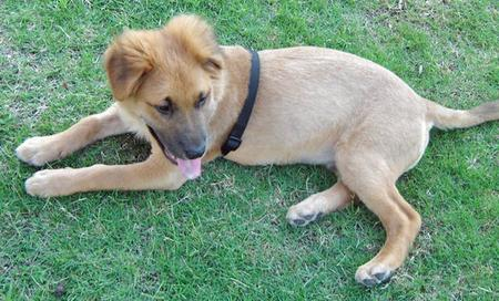 Brutus the Shepherd Mix Pictures 47339