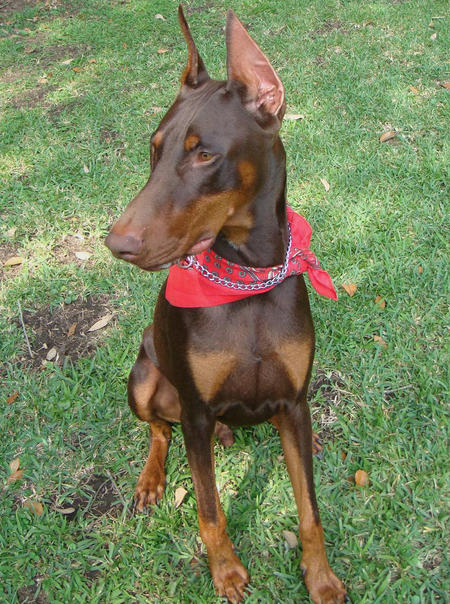 Astor the Doberman Pinscher Pictures 360445