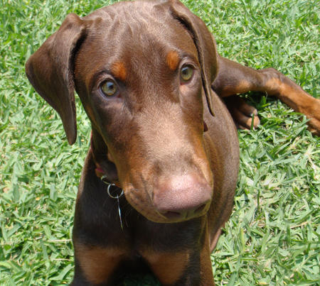 Astor the Doberman Pinscher Pictures 360438