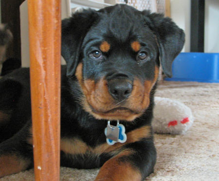 Charlie the Rottweiler Pictures 303493