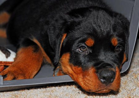 Charlie the Rottweiler Pictures 303491