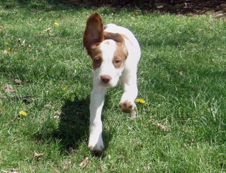 Bruno the Brittany Spaniel  Pictures 181078