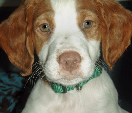 Bruno the Brittany Spaniel  Pictures 181075