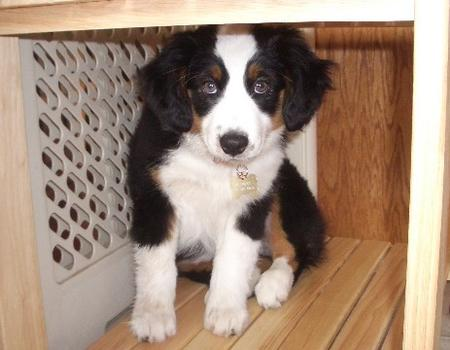Sydney the Miniature Australian Shepherd Pictures 19084