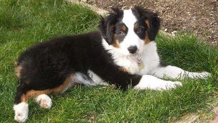 Sydney the Miniature Australian Shepherd Pictures 19082