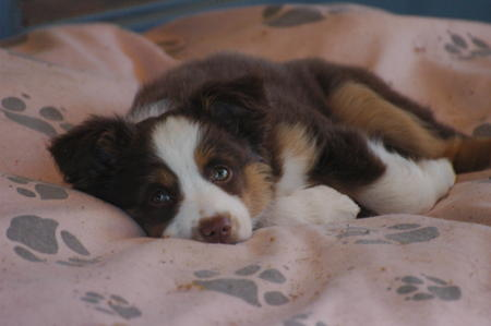 Granger the Mini Aussie Pictures 19934