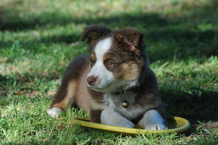 Granger the Mini Aussie Pictures 19924