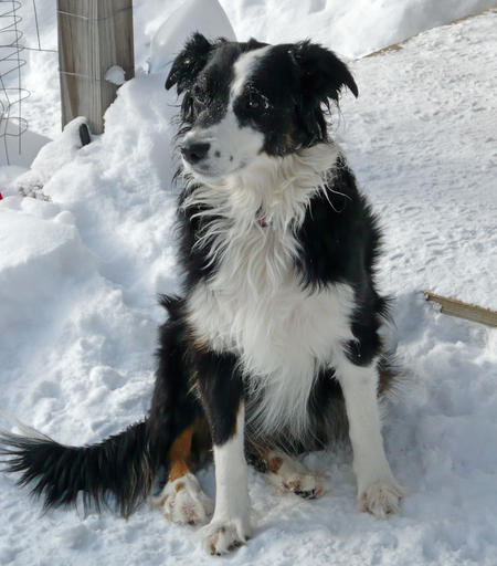 Zappa the Border Collie Mix Pictures 217015