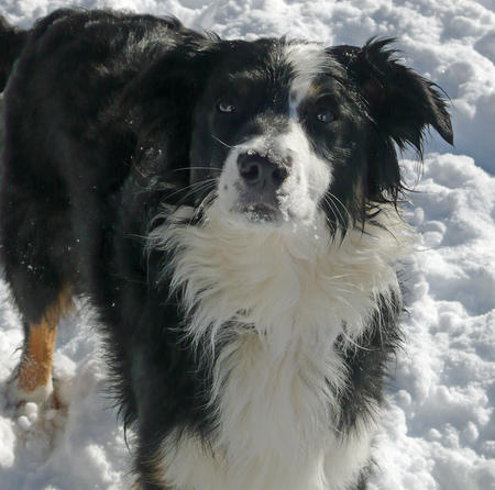 Zappa the Border Collie Mix Pictures 217014