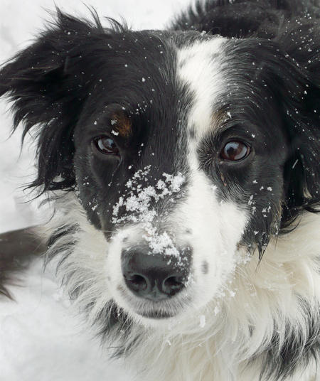 Zappa the Border Collie Mix Pictures 217011