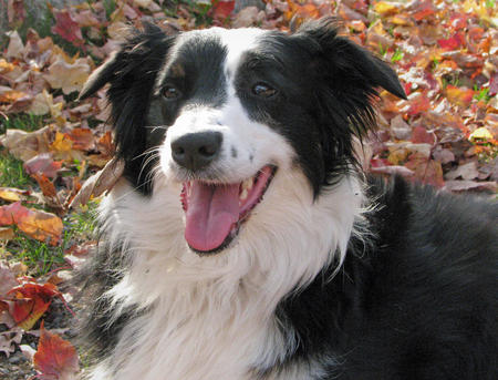 Zappa the Border Collie Mix Pictures 217009