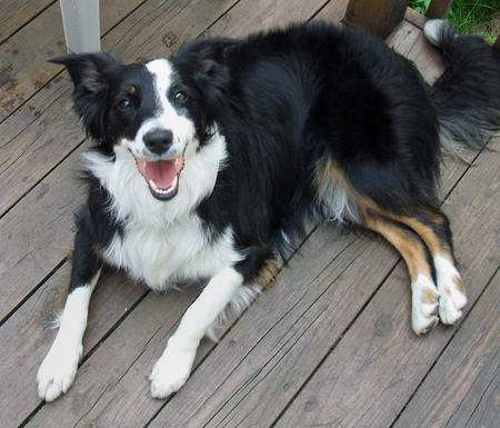Zappa the Border Collie Mix Pictures 217008