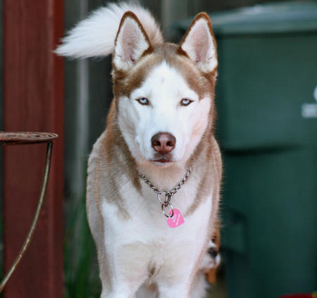 Balto the Siberian Husky Pictures 321267