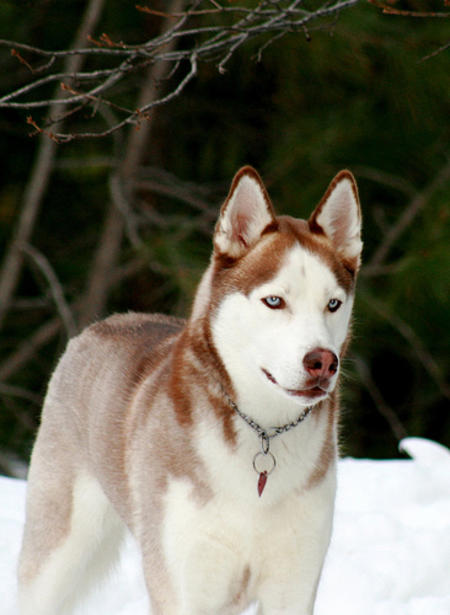 Balto the Siberian Husky Pictures 321268