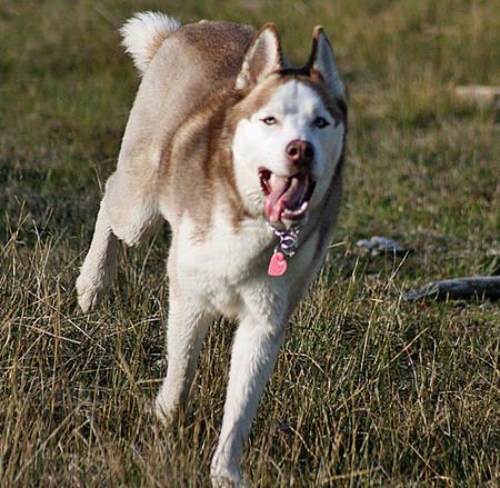 Balto the Siberian Husky Pictures 321264