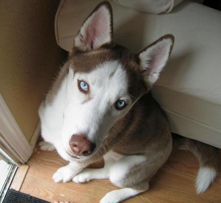 Balto the Siberian Husky Pictures 321262