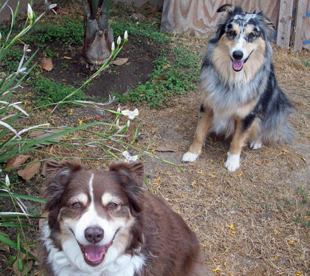 Amber and Bella the Australian Shepherds Pictures 365839