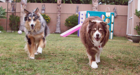Amber and Bella the Australian Shepherds Pictures 365838