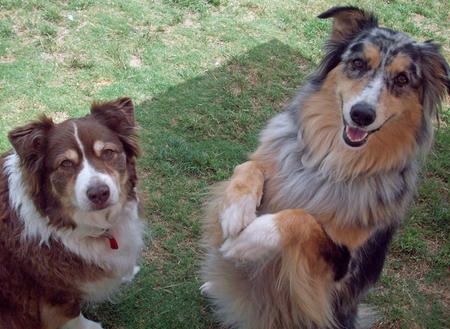 Amber and Bella the Australian Shepherds Pictures 365835