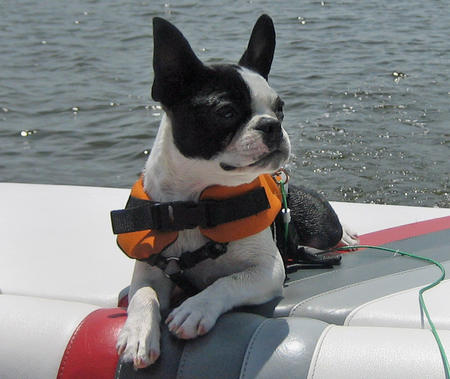 Febe the Boston Terrier Pictures 313034
