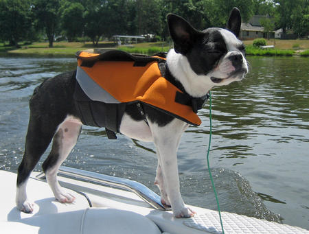 Febe the Boston Terrier Pictures 313035