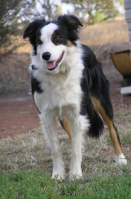 Sally the Border Collie Pictures 336098