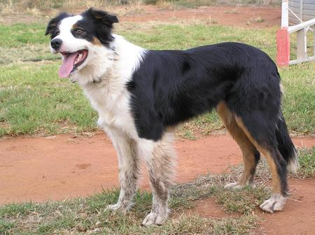 Sally the Border Collie Pictures 336095