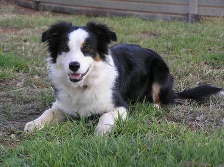 Sally the Border Collie Pictures 336094