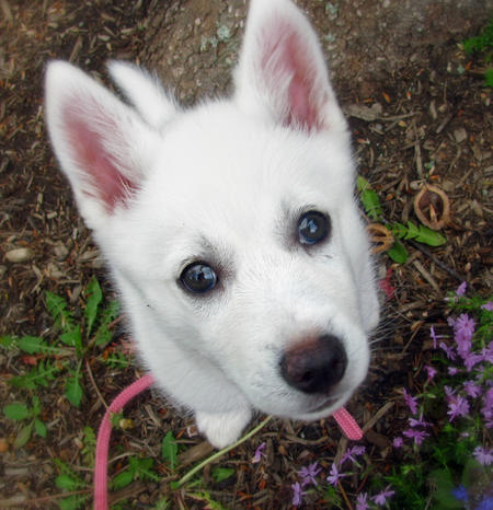 Juno the American Eskimo Mix Pictures 318155
