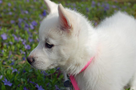 Juno the American Eskimo Mix Pictures 318154