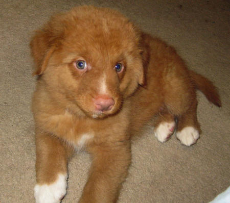 Vito the Duck Tolling Retriever Pictures 318608