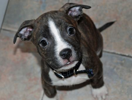 Eena the Pitbull Mix | Puppies | Daily Puppy