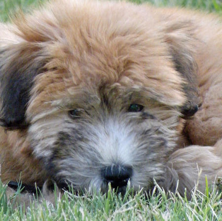 Charlie the Soft Coated Wheaten Terrier Pictures 380761