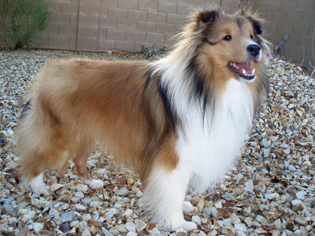 Myles the Shetland Sheepdog Pictures 321029
