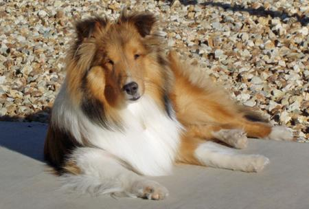 Myles the Shetland Sheepdog Pictures 321031
