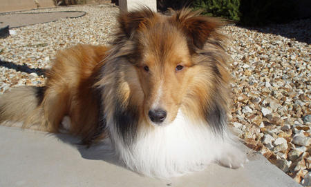 Myles the Shetland Sheepdog Pictures 321028