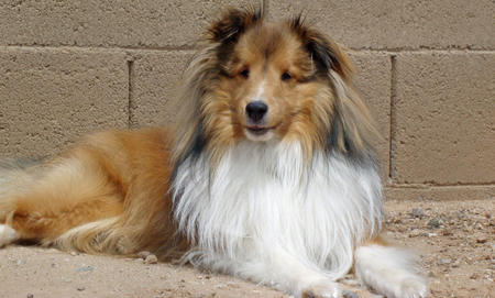 Myles the Shetland Sheepdog Pictures 321027