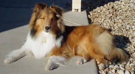 Myles the Shetland Sheepdog Pictures 321026
